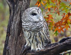 Barred Owl in the Rain
